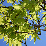 Plane tree leaves and fruit